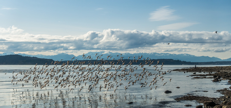 A flock of birds flies along the shore in West Seattle, Washington.