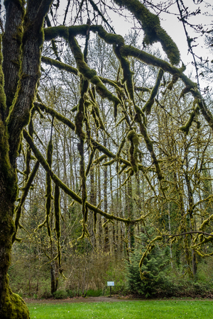 Moss cover branches of trees at Flaming Geyser State Park in Washingon State.