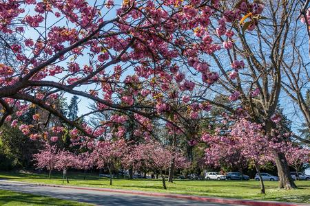A vuew from below abundant Cherry Tree blossoms at Seward Park in Seattle, Washington.