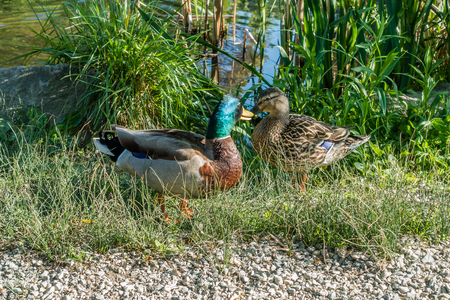 Two ducks seem to be very close to each other Banco de Imagens