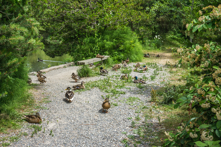 It is nap time for thsee ducks in Normandy Park, Washington. Stock fotó