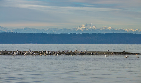 Seafulls sit on a sand bare with the Olympice Mountains in the distance. Stock Photo