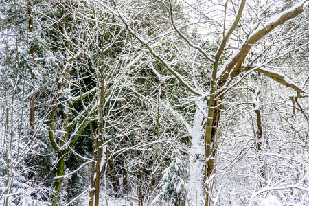 An abstract shot of snow-covered branches in the Pacific Northwest.