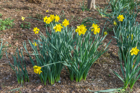 Yellow Daffodils bloom in srping time.