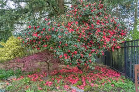 Abundant red blossoms adorn this Camelia bush in Seatac, Washington. Banco de Imagens