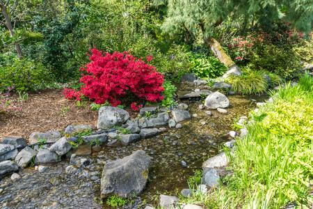 Red Azalea flowers bloom by a creek in Seatac, Washington.
