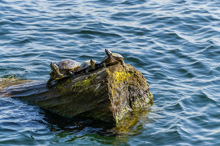 Three turtle sit on a log at Gene Coulon Park in Renton, Washington. Фото со стока - 123908251