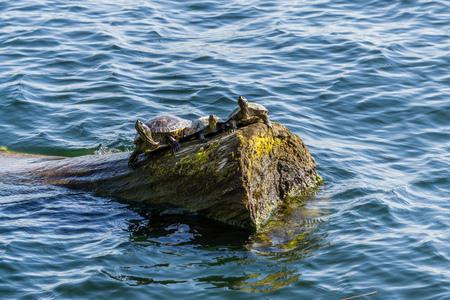 Three turtle sit on a log at Gene Coulon Park in Renton, Washington. Фото со стока