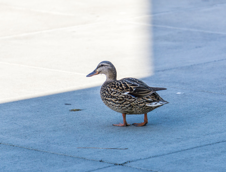 A duck in on a cement walkway at Gene Coulon Park in Renton, Washington.