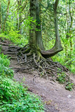 Roots on a tree are mostly above ground on this hill.