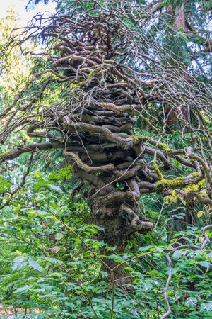 An unusual gnarly tree at the Seattle Arboretum.