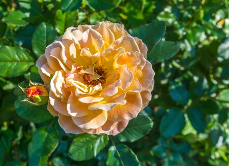 A close-up shot of an apricot-colored Rose. 免版税图像