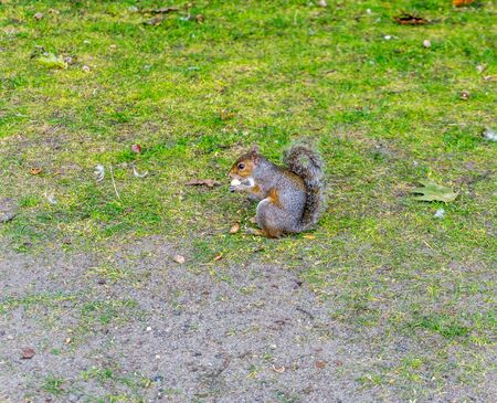 A squirrel eats while sitting on grass.
