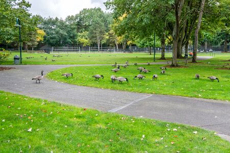 Canada Geese feed at Gene Coulon Park in Renton, Washington.