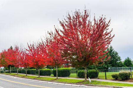 Red autumn tree is Des Moines, Washington.