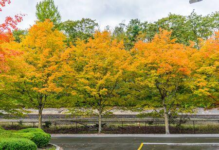 Autumn colors on roadside tree at Gene Coulon Park in Renton, Washington.