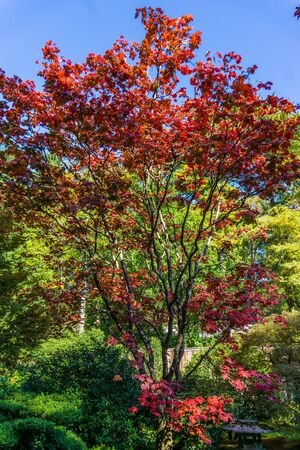 A view of colorful red fall leaves in Seattle, Washington. 写真素材
