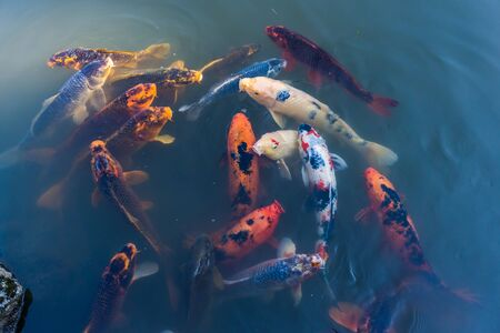Koi fish break the surface of a pond and look around.