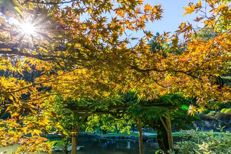 Sunlight shines through autumn leaves in a Seattle garden. 写真素材