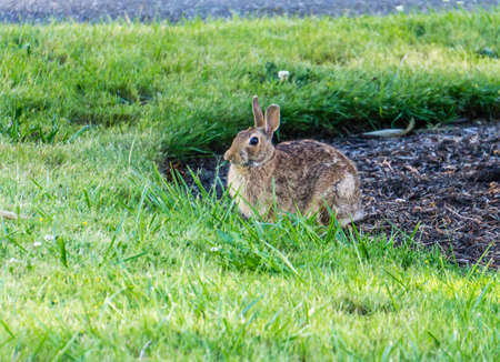 A view of a rabbit in a front yard in Burien, Washington.