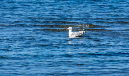A seagull floats in the shallows at Dash Point State Park in Washington State.