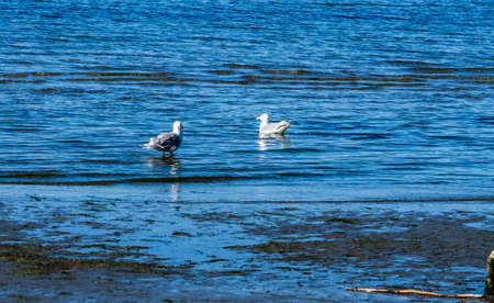 Two seagulls float in the shallows at Dash Point State Park in Washington State.