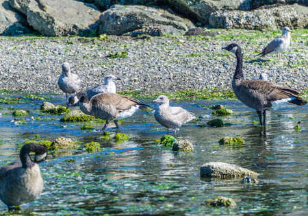 Canada Geese and seagulls wade in water near rocks.