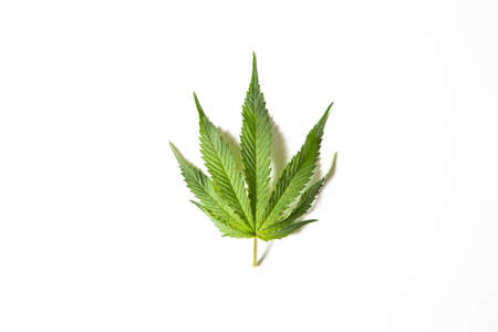 Green hemp or cannabis leaf on white studio background, top view with copy space. Medical marijuana. Banco de Imagens