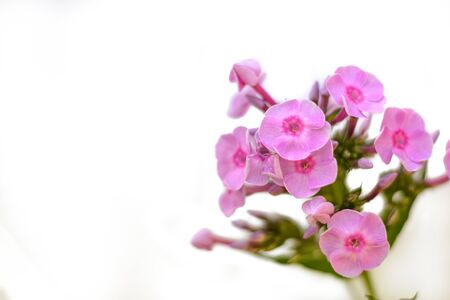 Detail and isolated vibrant pink phlox flower cluster on white background. Stock Photo