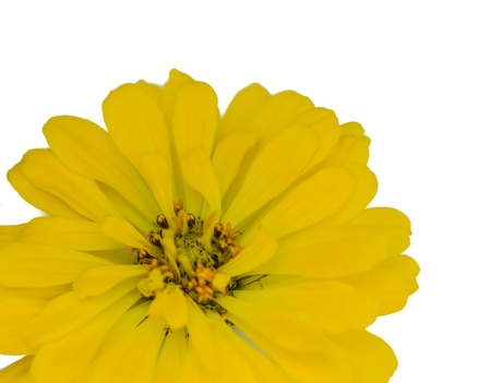 Detail of yellow Isolated Zinnia Flower on white background.