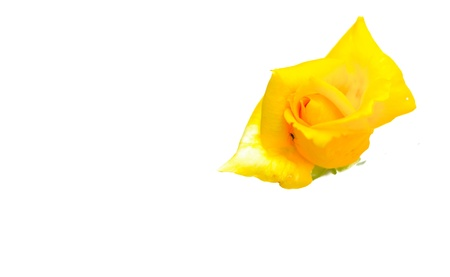 Single yellow rose on the white background