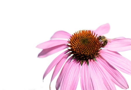 Detail of Purple Echinacea isolated with bee on white background  Used as  medicines that boost immunity  Stock Photo