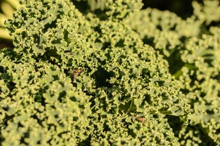 Detail of green cabbage in the garden  Standard-Bild