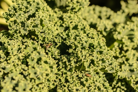 Detail of green cabbage in the garden  Stock Photo
