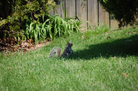 Squirrel searching for food in the grass photo