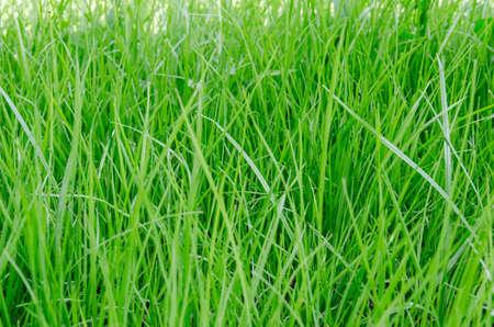 Green grass  closeup texture background  photo