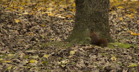 squirrel, tree and autumn leaves photo