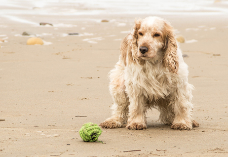 plating: cocker spaniel plating on a beach near the sea Stock Photo