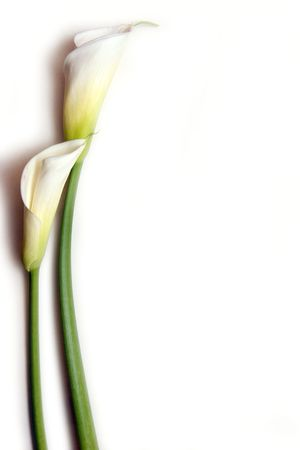 Two cala lilies on white background Stock Photo