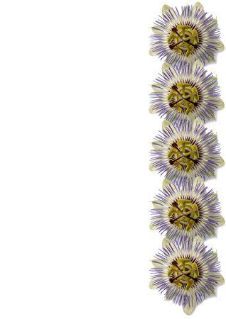 Vertical arrangement of Passiflora flowers photo