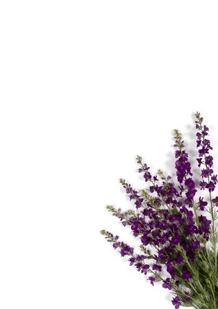 Corner arrangement with violet flowers on a white background Stock Photo