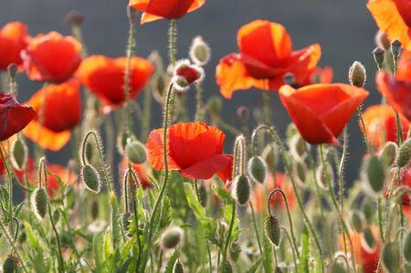 Poppy buds and flowers on poppy field Stock Photo