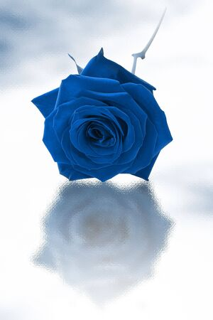Blue single rose on a white background