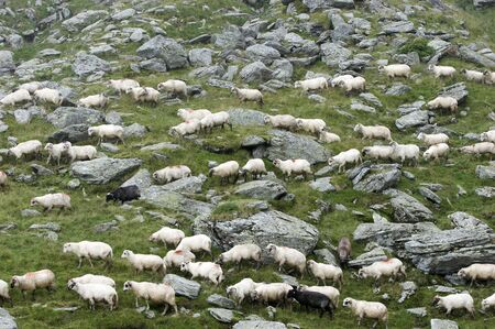 feasting: Sheep feasting grass between mountain rocks