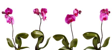 Four pink orchid isolated in different position