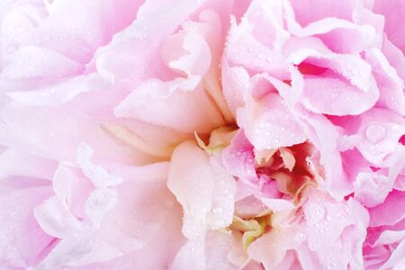 Close up on a pink peony flower Stock Photo - 9673958