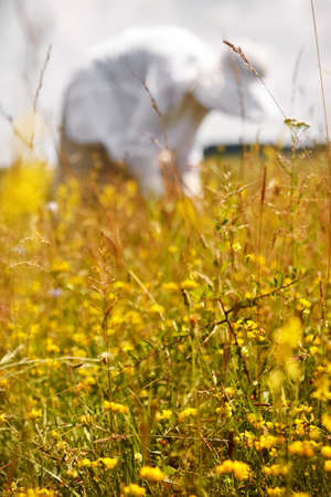 Woman picking medicinal herbs in a meadow photo