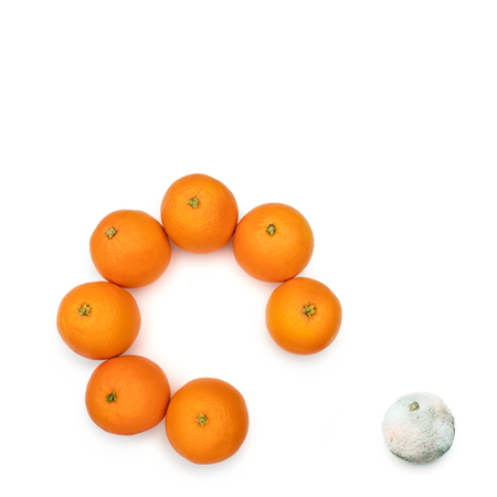 Moldy orange removed from the circle of the good ones. Concept for the bad ones out of the good ones.