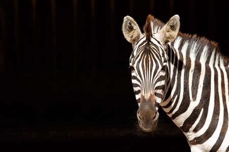 Zebra in profile on black background
