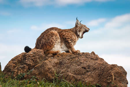 animal viviparous: Lynx at liberty Stock Photo